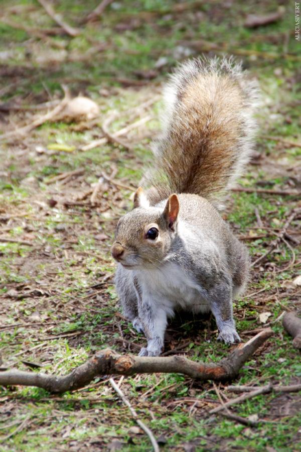 aliciasivert, alicia sivertsson, london, england, St. james's park, ekorre, squirrel,