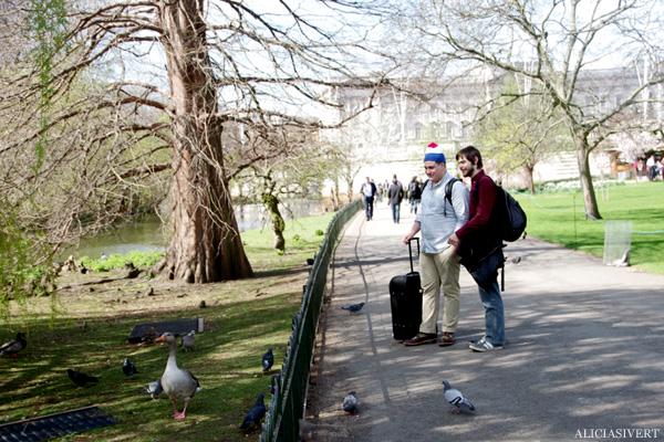 aliciasivert, alicia sivertsson, london, england, St. james's park, änder, and, anka, duck, ducks, duckseeing