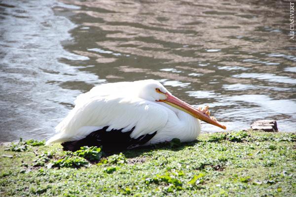 aliciasivert, alicia sivertsson, london, england, St. james's park, pelikan, angry cinnamon bun, pelican