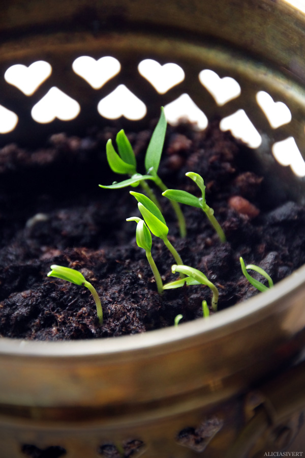 aliciasivert, alicia sivert, alicia sivertsson, odling, plantera, ekologisk paprika, paprikafrön, änglamarks ekologiska odlingsjord, kruka, skott, planta, plantor, paprikaplanto, plant, flowers, flower, sweet peppersr