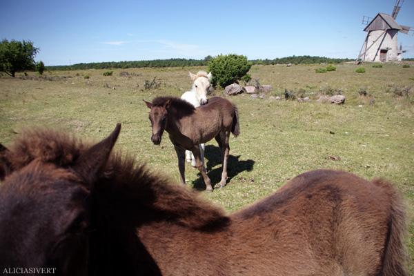 aliciasivert, alicia sivertsson, alicia sivert, gotland, semesterlivet, semester, gotlandsruss, russföl, russ, häst, hästar, ponny, pony, foal, horse, väderkvarn, kvarn, windmill