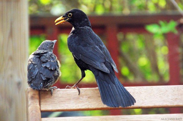 aliciasivert, alicia sivertsson, blackbird, bird, nest, birdnest, bird nest, birds, chick, chicks, nestlings, nestling, squeaker, squeakers, baby bird, baby birds, fågelbo, koltrast, koltrastbo, koltrastungar, fågelungar, fågelunge, unge, ungar, vår, småfågelbefrämjandet