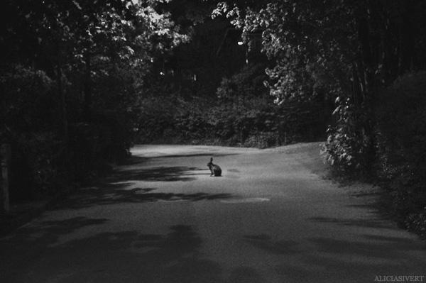 aliciasivert, alicia sivertsson, rabbit, bunni, animal, black and white, black & white, b&w, b/w, shadow, shadows, night, evening, natt, kväll, kanin, hare, svartvitt