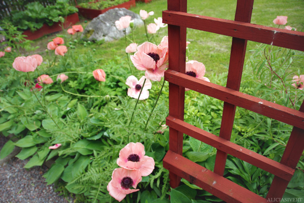 aliciasivert, alicia sivertsson, poppy, flower, flowers, garden, blossom,  nature, trädgård, valmo, blommor, blomma, växtlighet, natur, rabatt, sommar