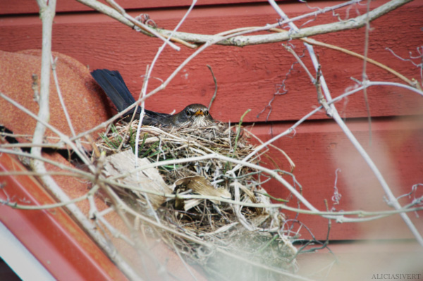 aliciasivert, alicia sivertsson, blackbird, bird, nest, birdnest, bird nest, fågelbo, koltrast, koltrastbo, koltrasthona