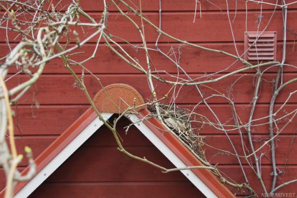 aliciasivert, alicia sivertsson, blackbird, bird, nest, birdnest, bird nest, fågelbo, koltrast, koltrastbo