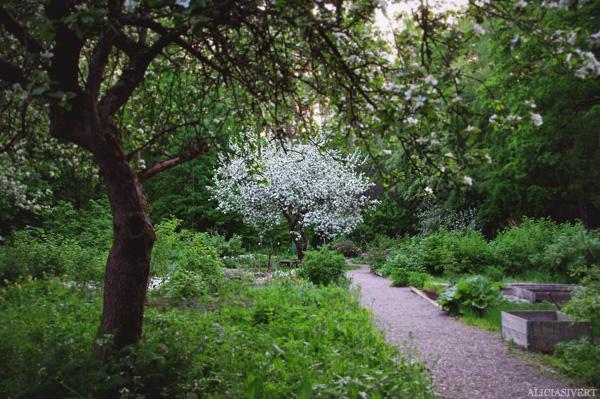 aliciasivert, alicia sivertsson, walking path, apple bloom, tree, flower, flowers, nature, natur, äppleblom, äppleträd, träd, promenadstråk, stig