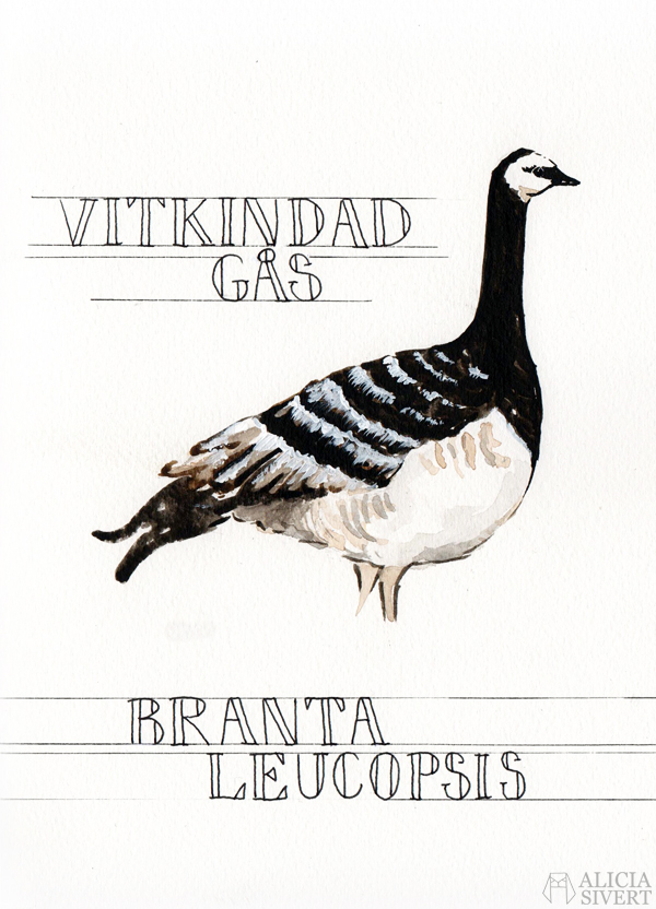 aliciasivert alicia sivert sivertsson vitkindad gås vitkindade gäss branta leucopsis kanadagås kanadagäss branta candadensis skillnad skillnader akvarell vattenfärg målning illustration aquarelle water color water colour watercolor watercolours bird birds geese canadian goose painting monthly makers 2016 april tema våren kreativitet skapande creativity create utmaning blogg bloggutmaning kreativ konst art paint måla