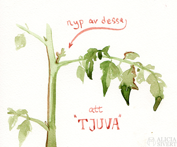 odla tomat i kruka lägenhet hemma inomhus från frö tips tomattips odlingstips odling akvarell målning vattenfärg tomatplanta planta aliciasivert alicia sivert sivertsson att tjuva nypa av skott