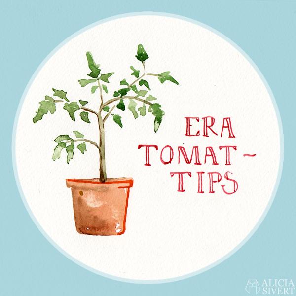 odla tomat i kruka lägenhet hemma inomhus från frö tips tomattips odlingstips odling akvarell målning vattenfärg tomatplanta planta aliciasivert alicia sivert sivertsson