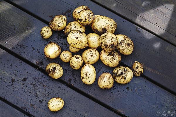 odla potatis på balkong i hink aliciasivert alicia sivert odling balkongodling'