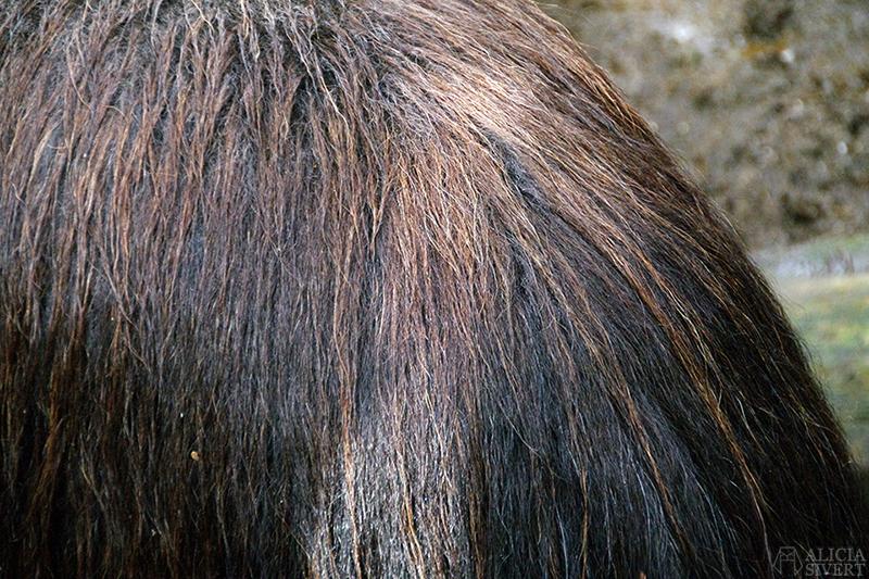 myskoxe myskoxar myskoxcentrum tännäs härjedalen aliciasivert alicia sivertsson alicia sivert muskox härje tjur päls ull