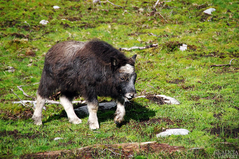 myskoxe myskoxar myskoxcentrum tännäs härjedalen aliciasivert alicia sivertsson alicia sivert muskox kalv fyris calf