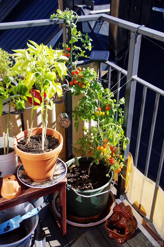 aliciasivert alicia sivertsson sivert odla grönsaker på balkong paprika tomat tomater potatis inreda inredning ljung ljuslykta ljusslinga armeringsjärn spaljé balcony grow home grown poatoes sweet peppers tomatoe tomatoes heather