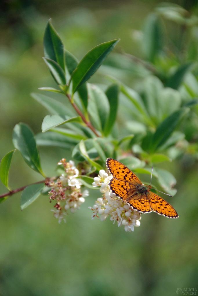 skilj på syfte, mål och löfte när du planerar din framtidaliciasivert alicia sivertsson gotland blommor fjäril butterfly