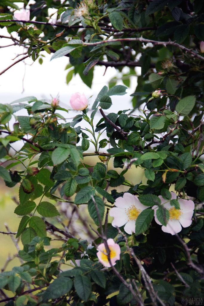 skilj på syfte, mål och löfte när du planerar din framtid aliciasivert alicia sivertsson nyponros ros gotland blommor