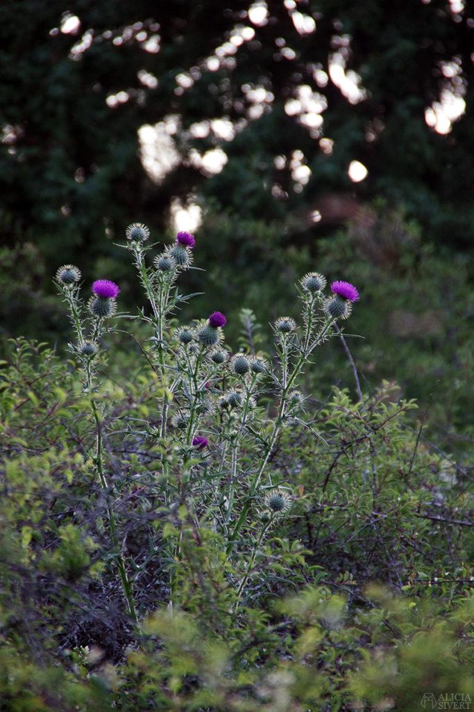skilj på syfte, mål och löfte när du planerar din framtidaliciasivert alicia sivertsson gotland blommor tistel