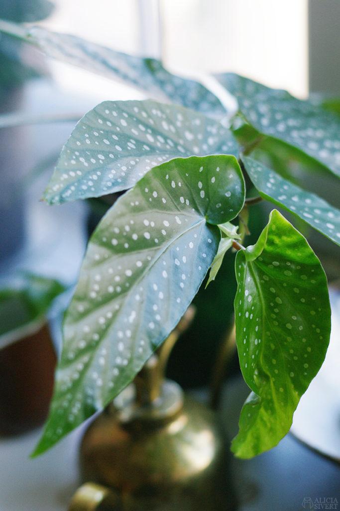 begonia änglavinge prickbegonia
