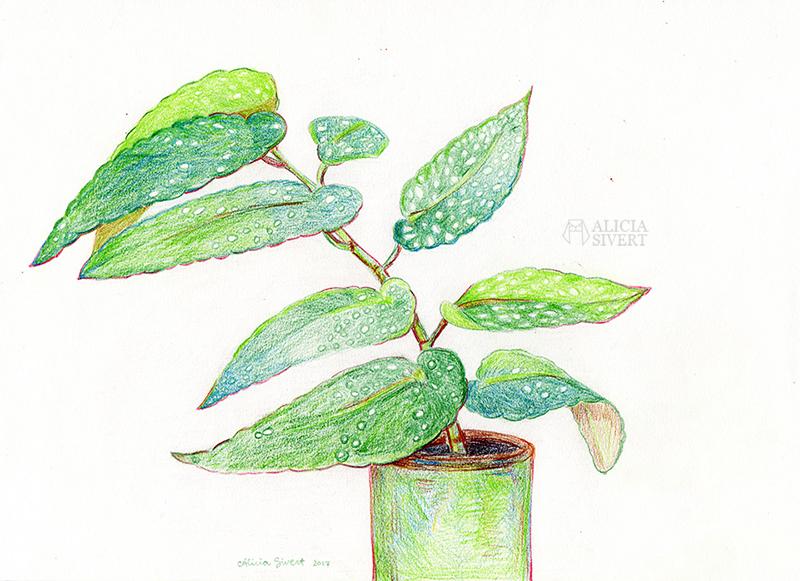 änglavinge aliciasivert växtgäris växt