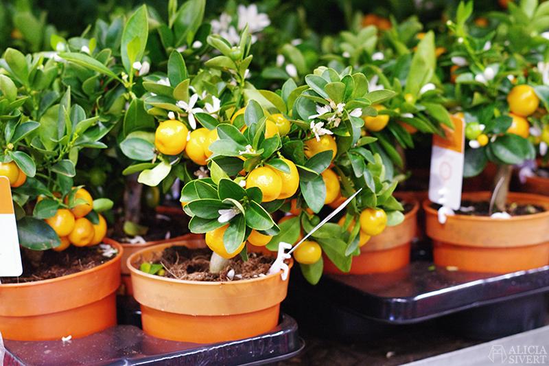 aliciasivert alicia sivert sivertsson trädgårdsmässa stockholmsmässan mässa mässan trädgård trädgårdar odling balkong kruka krukor krukväxt krukväxter odla blommor älvsjö inspiration utställning monter butik citrusträd