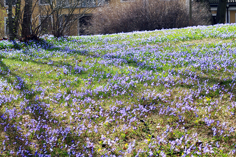 aliciasivert alicia sivert sivertsson trädgårdsmässa stockholmsmässan mässa mässan trädgård trädgårdar odling balkong kruka krukor krukväxt krukväxter odla blommor älvsjö scilla