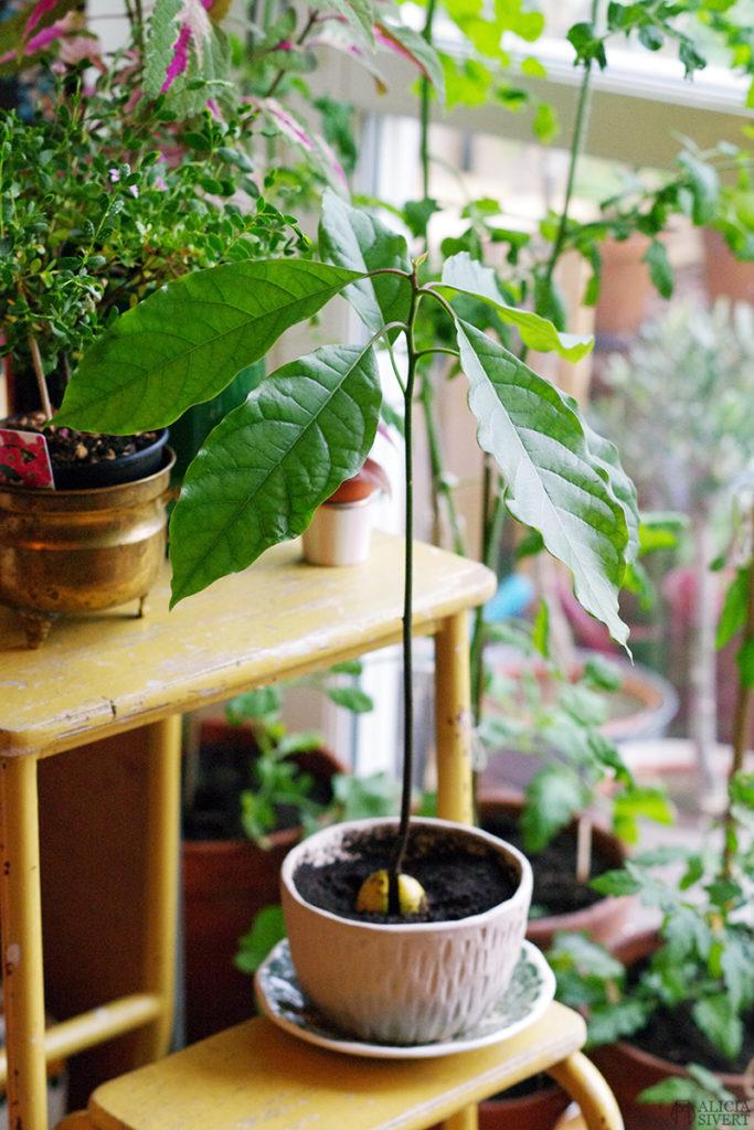 aliciasivert alicia sivert sivertsson odla odling på balkong balkongodling innerstan stockholm ätbart i kruka krukväxt krukväxter växter växt avokado avocado ur kärna avokadoträd avokadoplanta planta