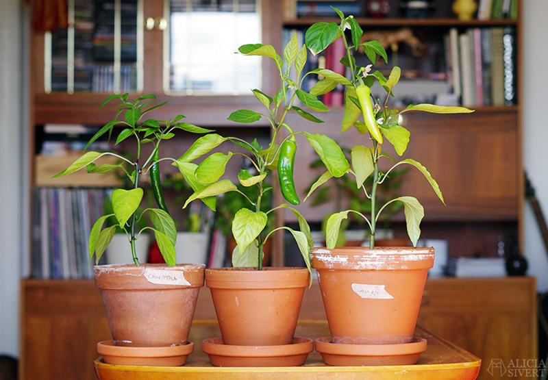 aliciasivert alicia sivert sivertsson odla odling på balkong balkongodling innerstan stockholm ätbart i kruka krukväxt krukväxter växter växt planta chili aji blanco cristal spetspaprika paprika impala