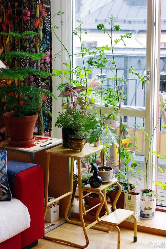 aliciasivert alicia sivert sivertsson odla odling på balkong balkongodling innerstan stockholm ätbart i kruka krukväxt krukväxter växter växt tomat tomatplanta stickling föröka med tomatstickling tjuv planta