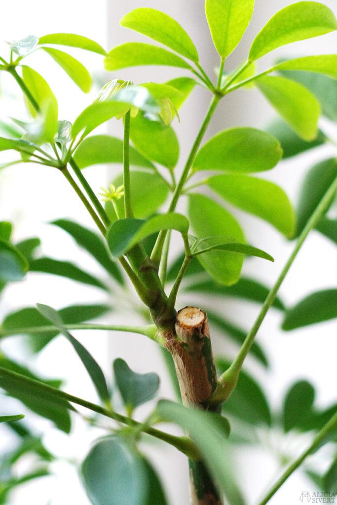 aliciasivert alicia sivert sivertsson odla odling på balkong balkongodling innerstan stockholm ätbart i kruka krukväxt krukväxter växter växt paraplyaralia stickling sticklingar