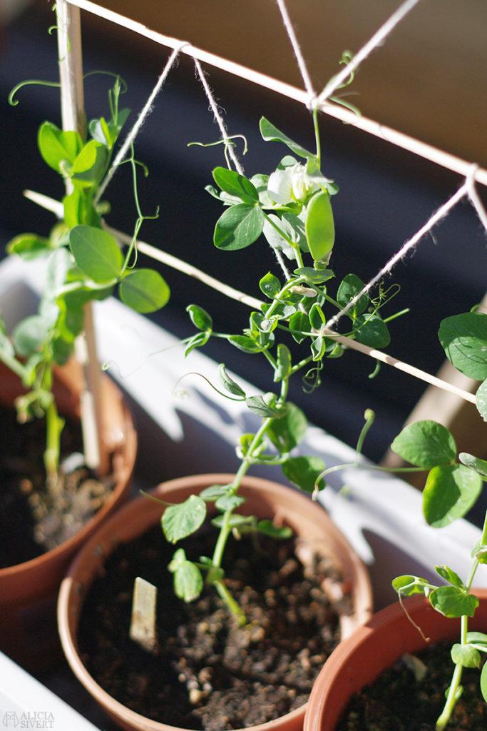 aliciasivert alicia sivert sivertsson odla på balkong balkongodling odling trädgård inspiration inreda inredning kruka krukor det norske hageselskap hage på balkongen märgärt karina