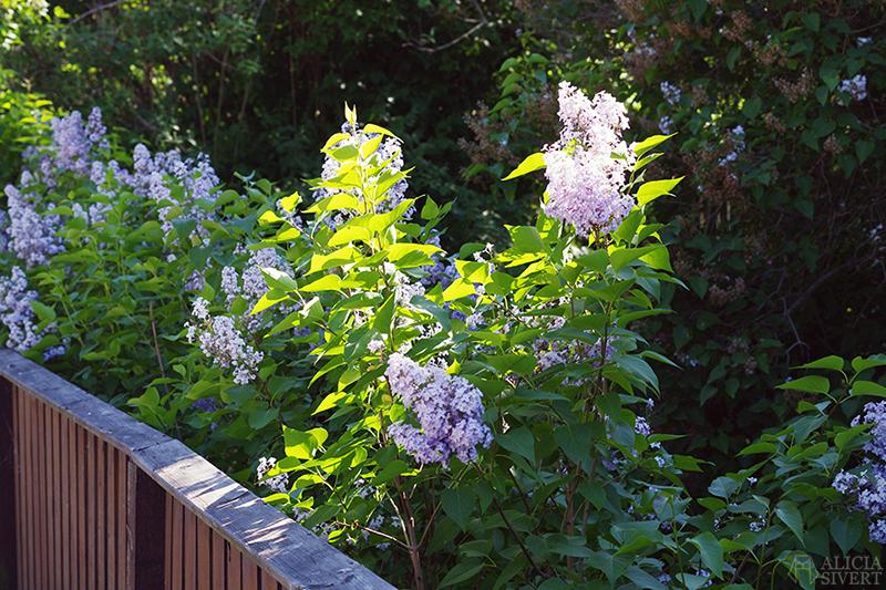 aliciasivert alicia sivertsson siver syren syrenbuske syrenbuskar försommar sommar