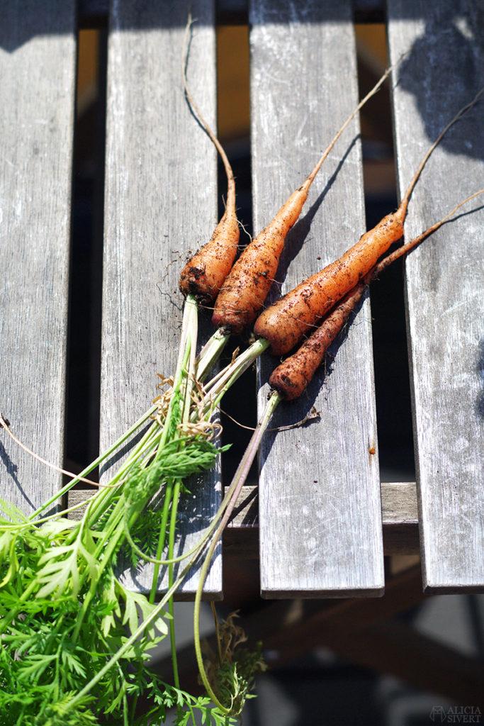 odla odling balkongodling på balkong balkongen i hink kruka morot morötter