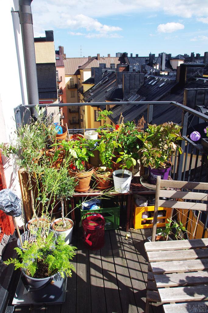 odla odling balkongodling på balkong balkongen i hink kruka paprika chili morot majrova