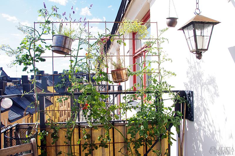 odla odling balkongodling på balkong balkongen i hink kruka tomat tomater spaljé armeringsnät armeringsjärn