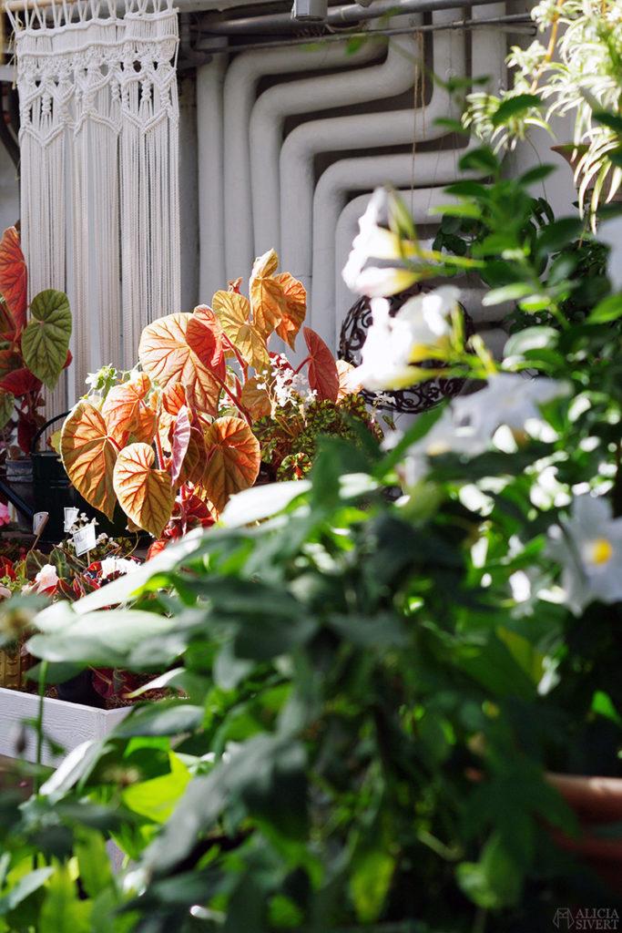 aliciasivert alicia sivert alicia sivertsson djurgården stockholm utflykt utflyktsmål rosendals trädgård blommor begonia