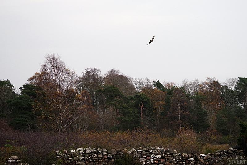 Höst på södra Gotland. Foto av Alicia Sivertsson. Alicia sivert aliciasivert aliciasivert.se sudret storsudret ormvråk fågel rovfågel