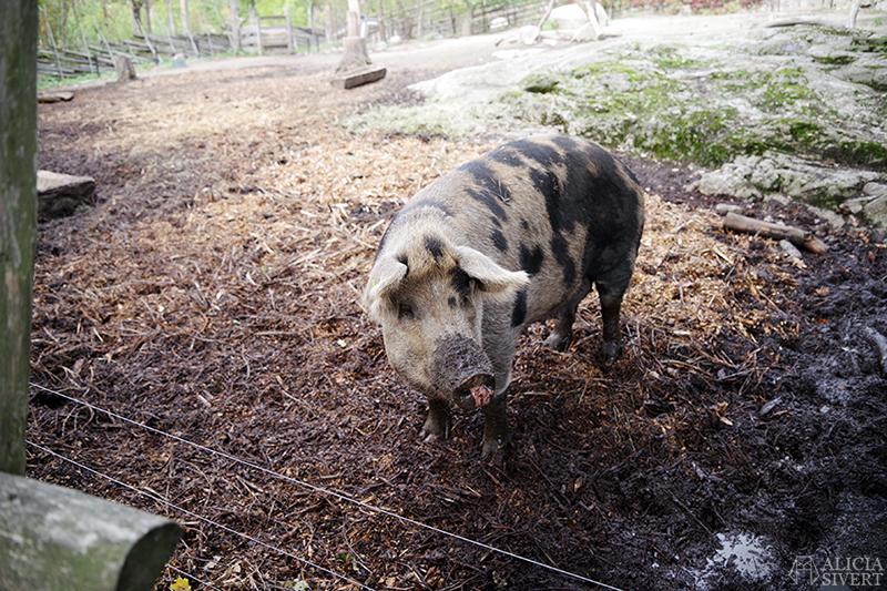 Skansens höstmarknad 2018, Skansen, marknad, höst, 1900-tal, sekelskifte, linderödssvin, gris, linderödsgris