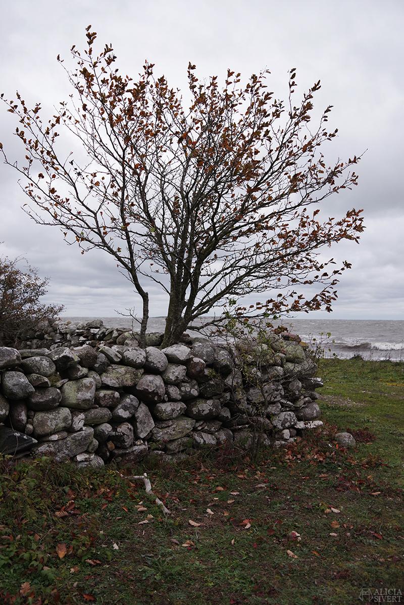 Höst på södra Gotland. Foto av Alicia Sivertsson. Alicia sivert aliciasivert aliciasivert.se sudret storsudret nore stenvast träd vast mur norebod fiskeläge