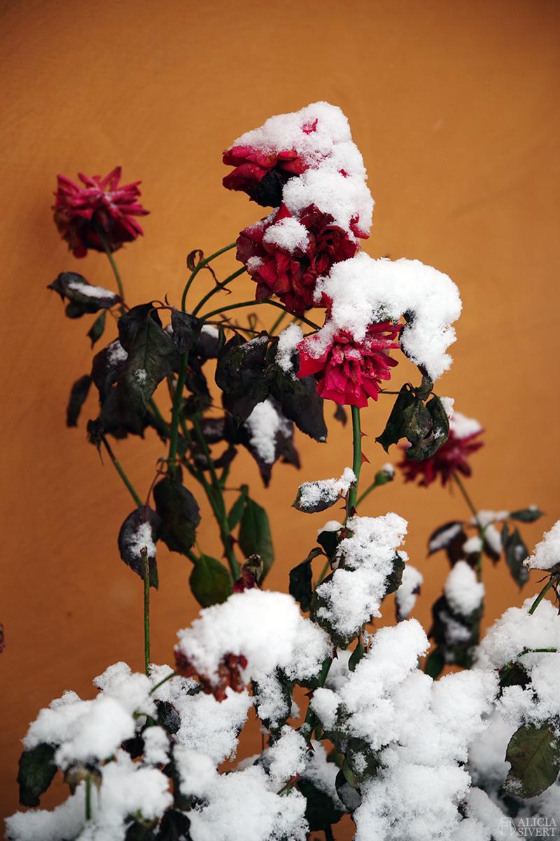 december snö stockholm jul rosor ros