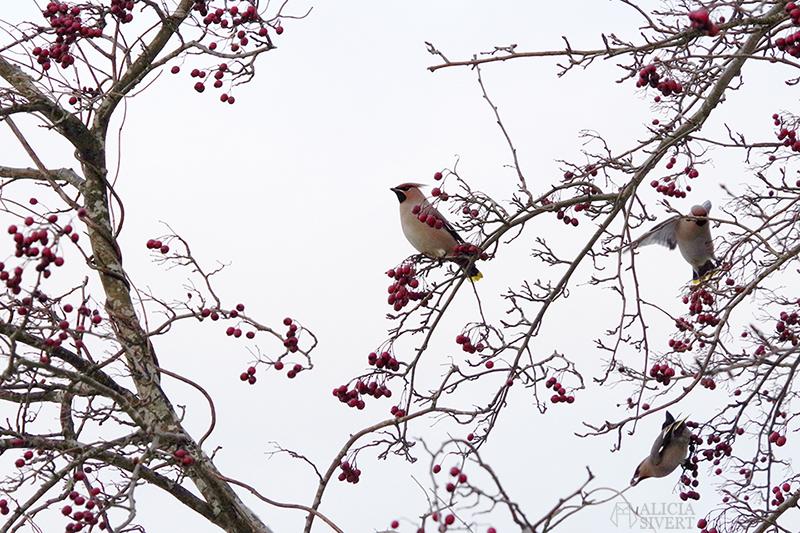 December jul sidensvans sidensvansar oxel oxelbär fågel fåglar
