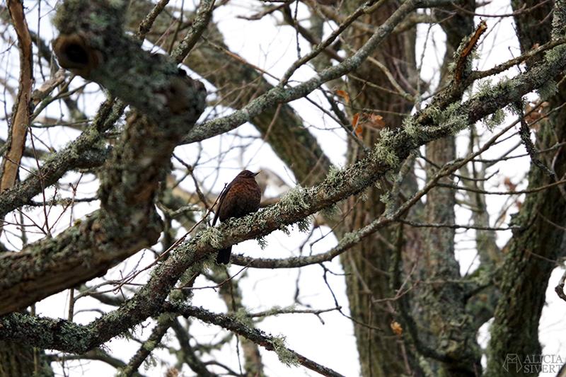 Försenade julkort Ett försenat julkort fågel fågelskådning fåglar koltrast