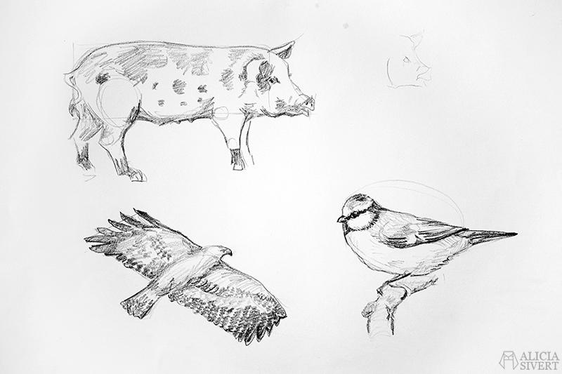 Blyertsskisser av Alicia Sivertsson - www.aliciasivert.se // djur teckning skiss skisser teckningar blyerts blyertsskiss blyertsteckning örn fågel fåglar blåmes gris linderödssvin svin