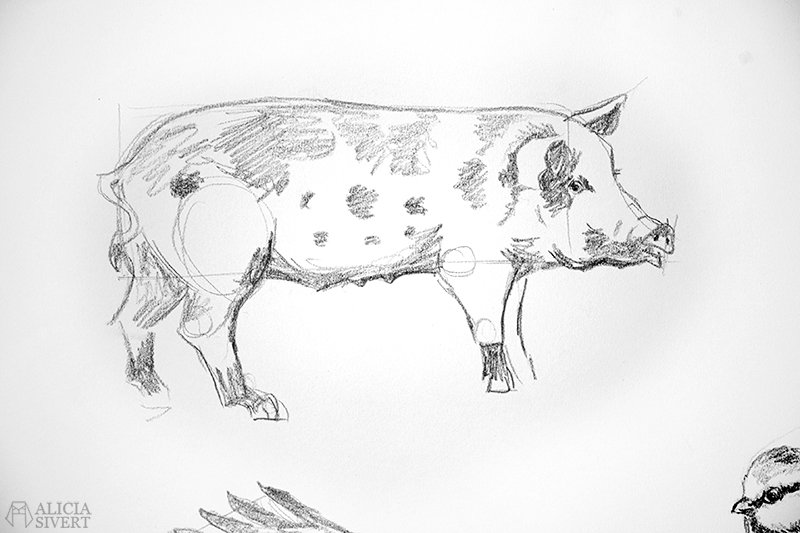 Blyertsskisser av Alicia Sivertsson - www.aliciasivert.se // djur teckning skiss skisser teckningar blyerts blyertsskiss blyertsteckning gris linderödssvin svin