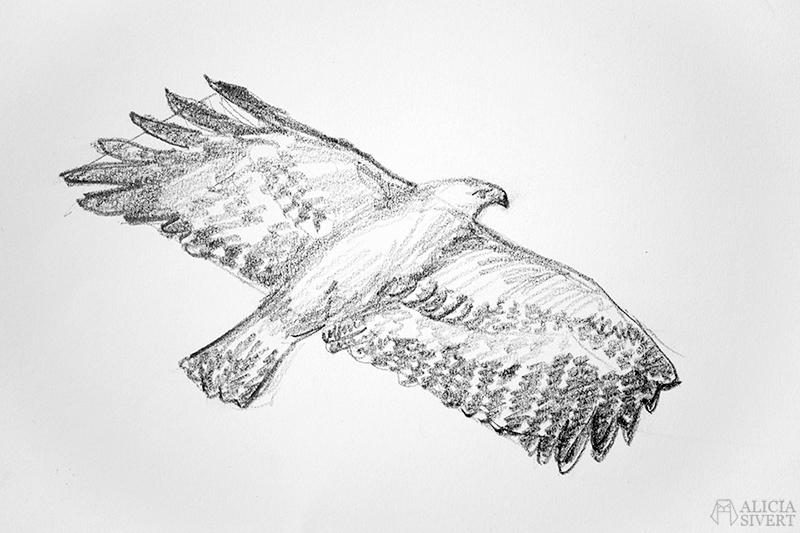 Blyertsskisser av Alicia Sivertsson - www.aliciasivert.se // djur teckning skiss skisser teckningar blyerts blyertsskiss blyertsteckning örn fågel fåglar