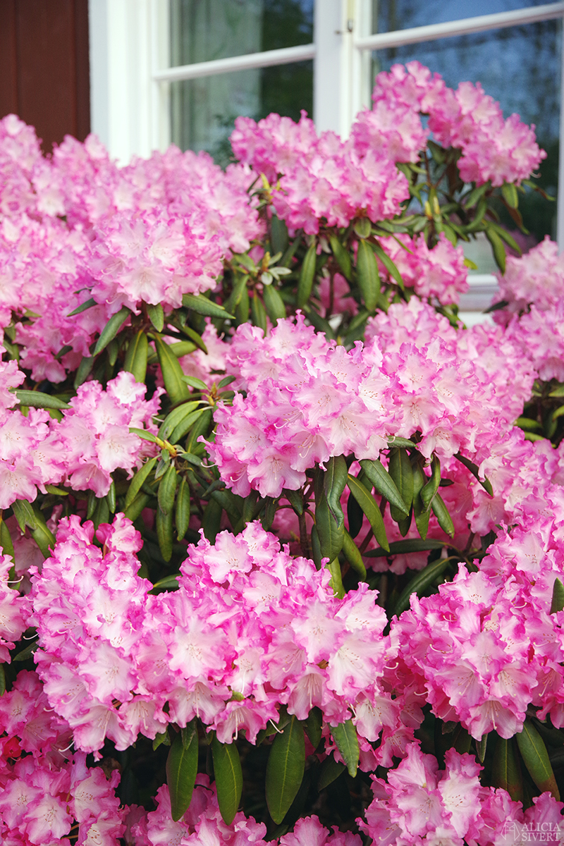 Rhododendronbuske i maj, foto av Alicia Sivertsson - www.aliciasivert.se