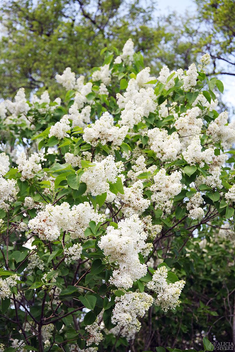 Syrenbuske i maj, foto av Alicia Sivertsson - www.aliciasivert.se