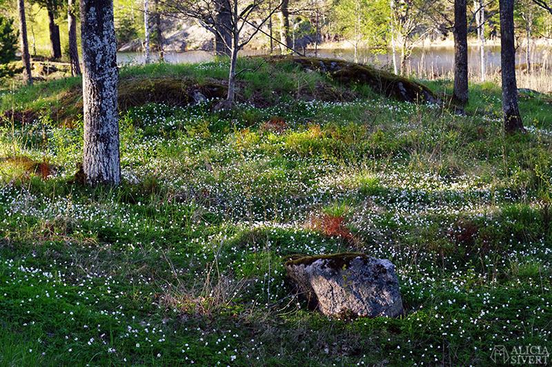 Vitsippor vid Kvarnsjön i Gustavsberg - www.aliciasivert.se // maj förra året