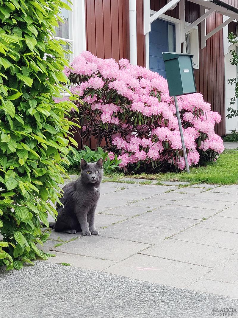 Grå katt framför rhododendronbuske - www.aliciasivert.se