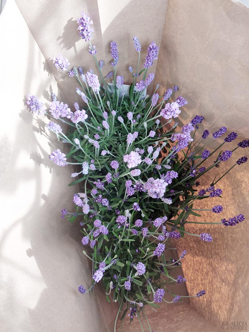 Lavendel i kasse - www.aliciasivert.se