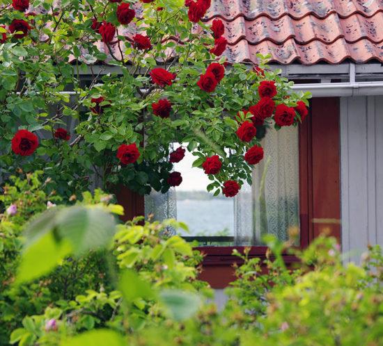 Havsutsikt och rosor, en sommardag på Sandön - www.aliciasivert.se